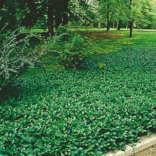 Purple Wintercreeper Ground Cover Plants Ground Covers And