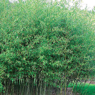 Hardy Evergreen Bamboo Privacy Fence Grasscity Forums
