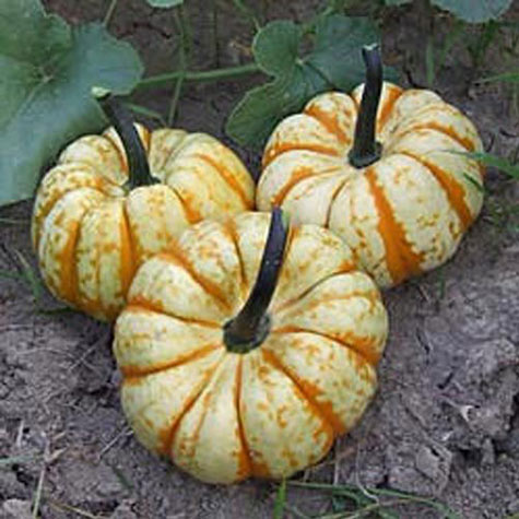 Sweet Lightning Winter Squash