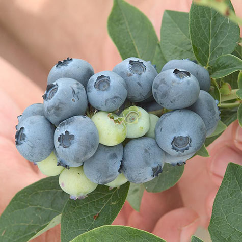 'Bluegold' Blueberry