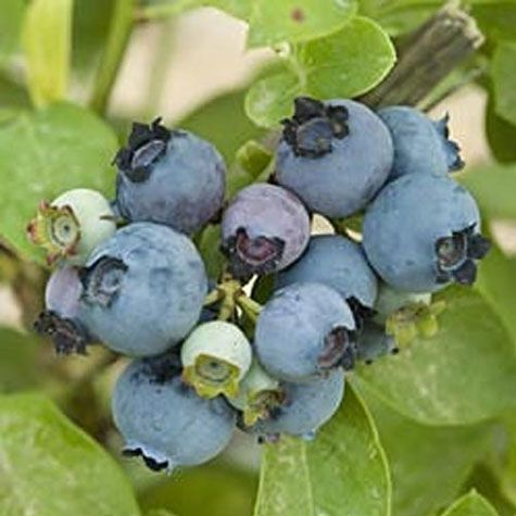 'Reka' Blueberry