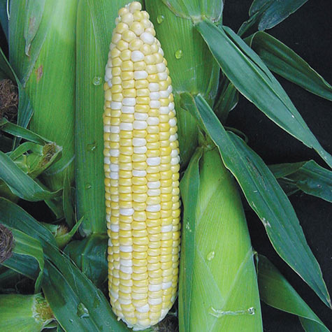 Summer Sweet<sup>&reg;</sup> Higlow<sup>&reg;</sup> Bi-Color Hybrid (SH2) Sweet Corn