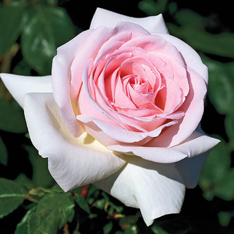 Francis Meilland® Hybrid Tea Rose