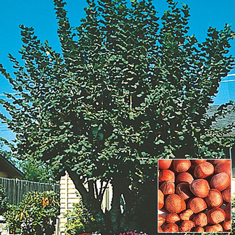 American Hazelnut Tree