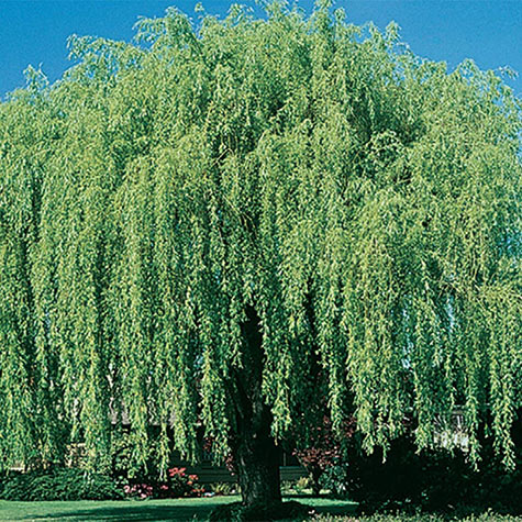 Niobe Weeping Willow Tree