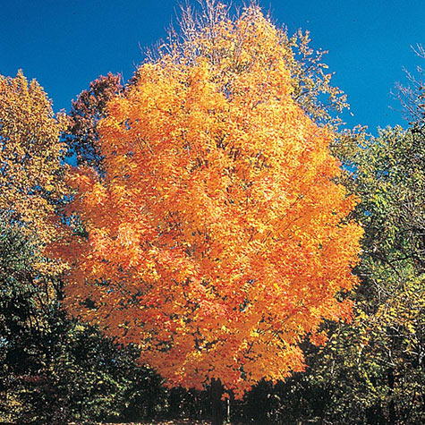 Sugar Maple Tree
