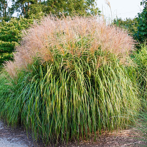 Maiden ornamental grass gurneys seed nursery for Long ornamental grass