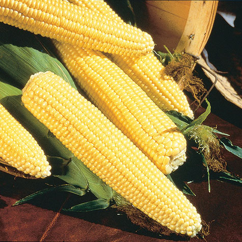 Northern Yellow Xtra-Sweet  (sh2) Hybrid Sweet Corn