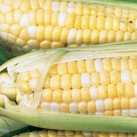 Northern Xtra-Sweet Bicolor (sh2) Hybrid Sweet Corn