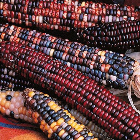 Rainbow Ornamental Corn