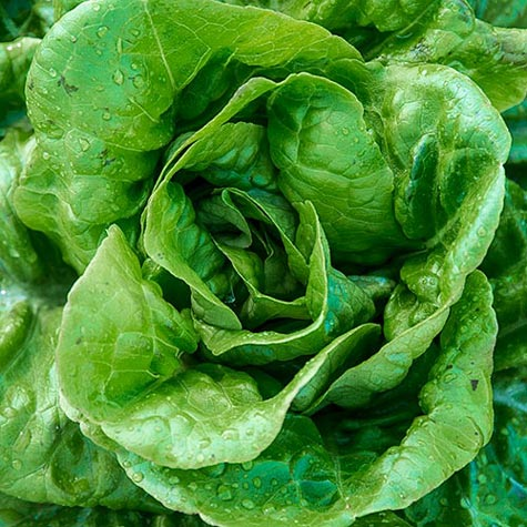 Buttercrunch Lettuce