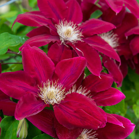 Rebecca<sup>&trade;</sup> Clematis