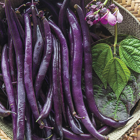 Purple Queen Improved Beans