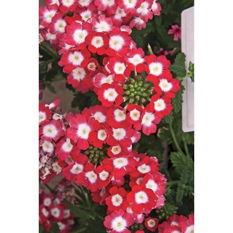 Empress Strawberry Verbena