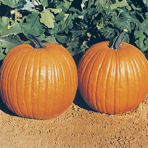 Gurney's<sup>&reg;</sup> Giant Magic Hybrid Pumpkin
