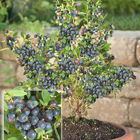 Dwarf Northsky Blueberry