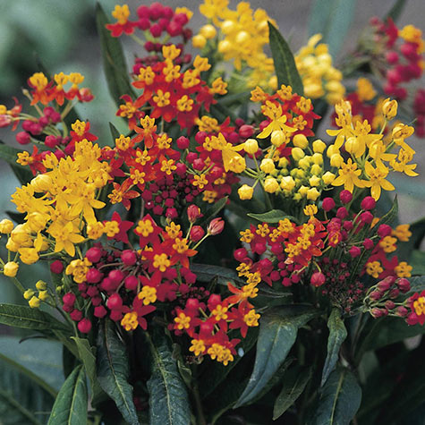 Silky Mix Butterfly Plant