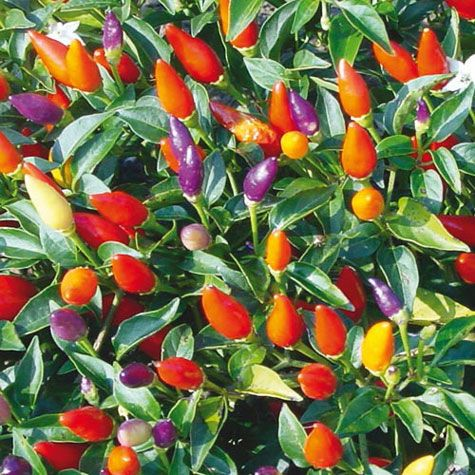 Tricolore Garda Ornamental Pepper