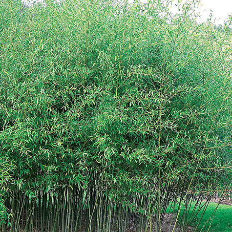 Hardy Evergreen Bamboo