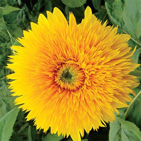 Double Shine Sunflower