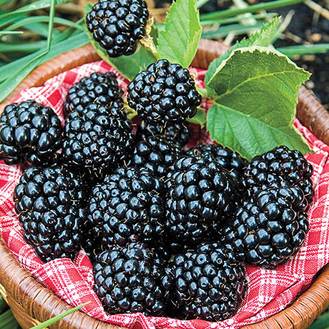 Arapaho Blackberry
