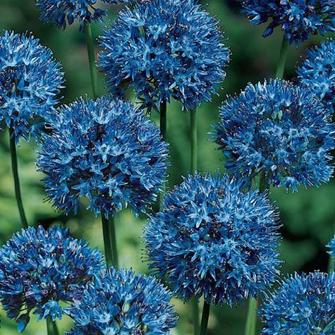 Blue-of-the-Heavens Allium
