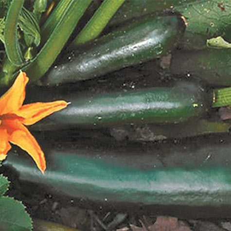 Organic Black Beauty Summer Squash