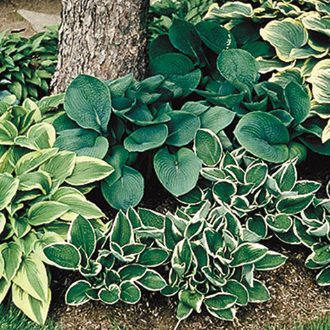 Shady Places Hosta Mix
