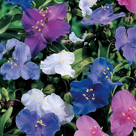 Spiderwort Mix